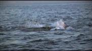 Голямата Бяла Акула Vs Тюлен (bbc)
