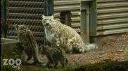 Малки снежни леопардчета и майка им..