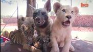 Бебета Лъвчета, Тигър и Хиена са приятели