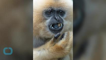 Plan to Build Treetop Bridges to Save Critically-Endangered Hainan Gibbons