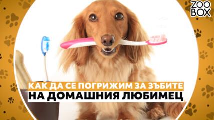 Как да се погрижим за зъбите на домашния любимец