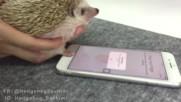 Таралеж отключва iphone !