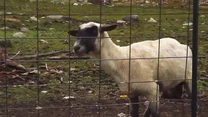 Крещящата овца