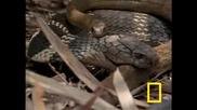 Cobra vs. Rat Snake