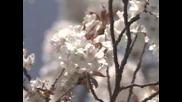 Begin Japanology - Cherry Blossoms