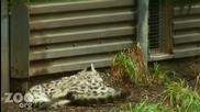 Майка бял леопард и нейните малки.