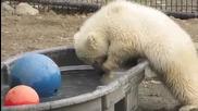 Малко мече се опитва да изяде кубче лед