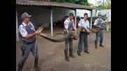Най-големите анаконди