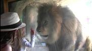 София - укротител на Лъв Wellington Zoo, Нова Зеландия - 4 януари 2012 г.