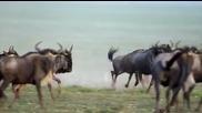 Ето как ловува грижовната майка гепард
