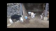Животните в село Божевци