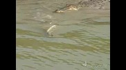 Много тъп крокодил изпуска риба