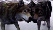 Превод! Wolfblood - Сезон 3 Епизод 13 - Лунно изгряване