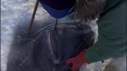 Рибари улавят 4 метрова Гренландска акула.