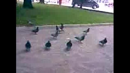 Наивните Гълъби (xaxa)