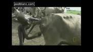 Негри стимулират животни да пускат мляко