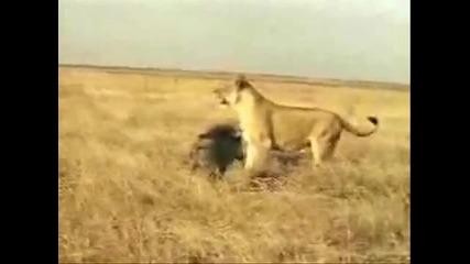 Велики битки. Тигър срещу Лъв, кобра срещу лъв, Рис срещу Мечка,крокодил срещу питон и още много
