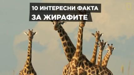 Ден на жирафите - 21ви юни
