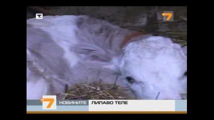 В Сърбия се роди лилаво теле Milkan