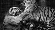 Wayfarer - The Tiger