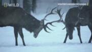 Благородният елен | Скритите чудеса на зимата | NG Wild Bulgaria