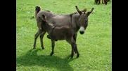 Игриво Малко Магаренце - Kira the mini donkey amusing herself