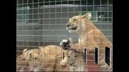 Китайски зоопарк показа бебета - кръстоска между тигър и лъв