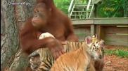 Маймуна се грижи за тигърчета