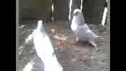 Дрезгав гълъб