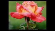 Snegna roza