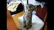 Сладко котенце надушва вечеря