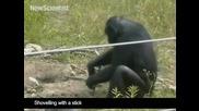 Маймуни демонстрат пещерен човек