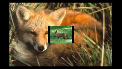 Gold Fox - Златната Лисица