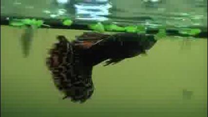 Gupy Fish