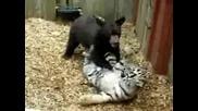 Тигърче си играе с меченце