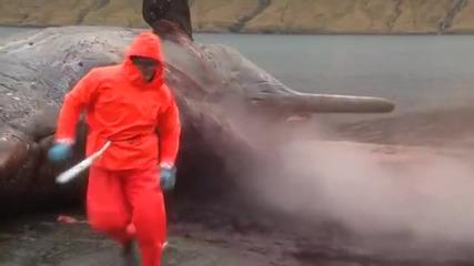 Вижте как стомахът на кит експлодира