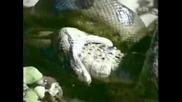 Змия Изяжда Алигатор