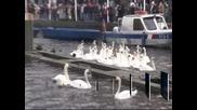 Преброиха лебедите в Хамбург в зимното им местообитание