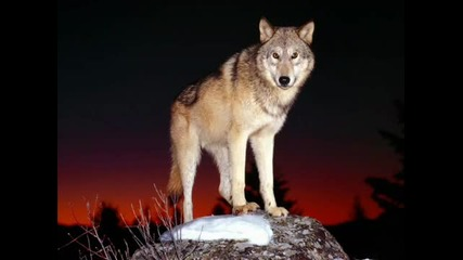 Kavkaz Lezginka (kavkaz Wolves) Lezginka Music Dj Nariman Dr