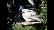 Pigeon avec un clou