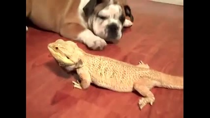 Приятелство между английски булдог и брадат дракон