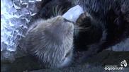 Морска видра срещу лед - Смях