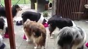 Възпитани кучета чакат поименно да ги извика стопанката им за храна!