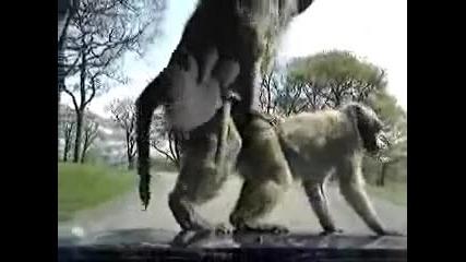 Маймуни се качват върху кола и се опитват да правят секс