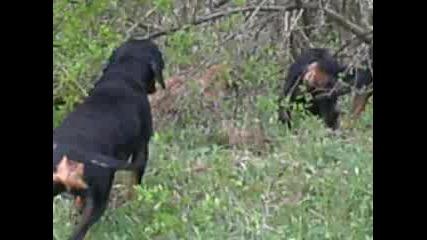 обучение на гонче на диво прасе