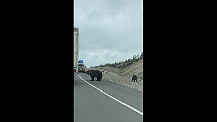 Bears can't be choosers! Roadside cubs beg for food from drivers on Russian motorway
