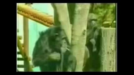 Маймуна Пуши Цигара