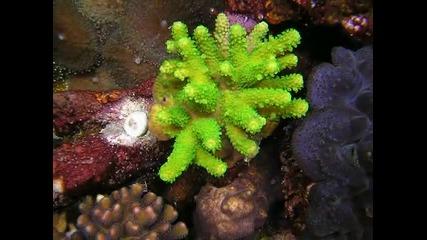 Рифов аквариум с корали