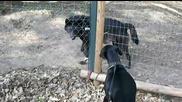 Доберман се плаши от черен вълк.