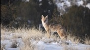 Vexento - Coyote